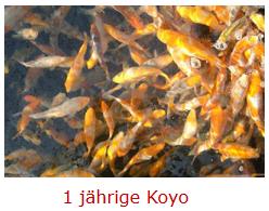Koyo-einjährig.png